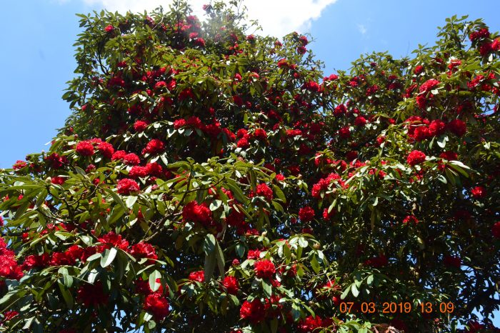 Rhododendron at Kalsee Eco lodge Netherland camp